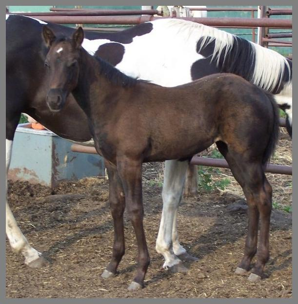 2014 Black filly out of Raven Silver Peach