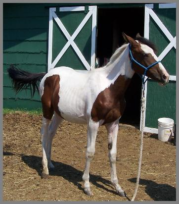 Royal Apache Keepsake 2006 - bay tovero filly out of Eloquent Chick