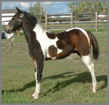 """Poco Royal Banjo""2004- Bay Tobiano colt out of Sirlettes Starlet"