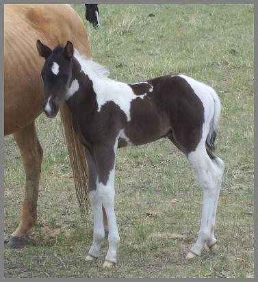 Baxter - 2009 Black Tobiano Colt out of Gold Gypsy Dancer