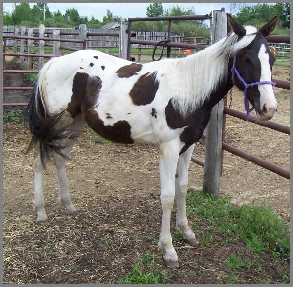 Royal Razza Ma Tazz - 2006 Black Tobiano filly out of Raven Silver Peach