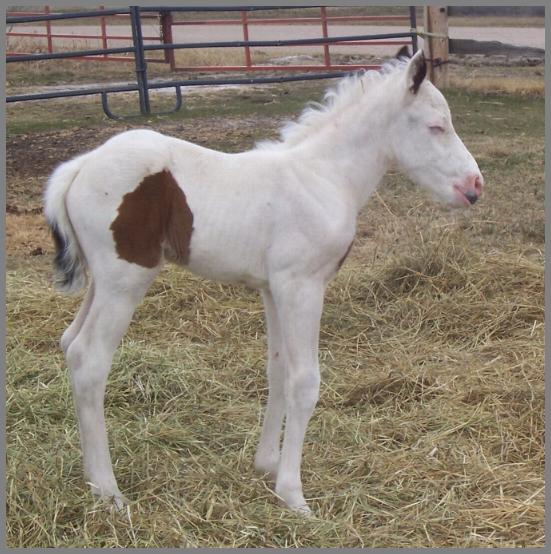 Dooley - 2009 Bay Overo Colt out of Friday Night Encore - Dooley was euthanized after complications from a broken leg.