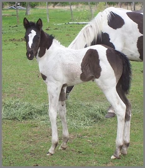 Royal Apache Echo 2010 - Black Tobiano Filly out of Raven Silver Peach