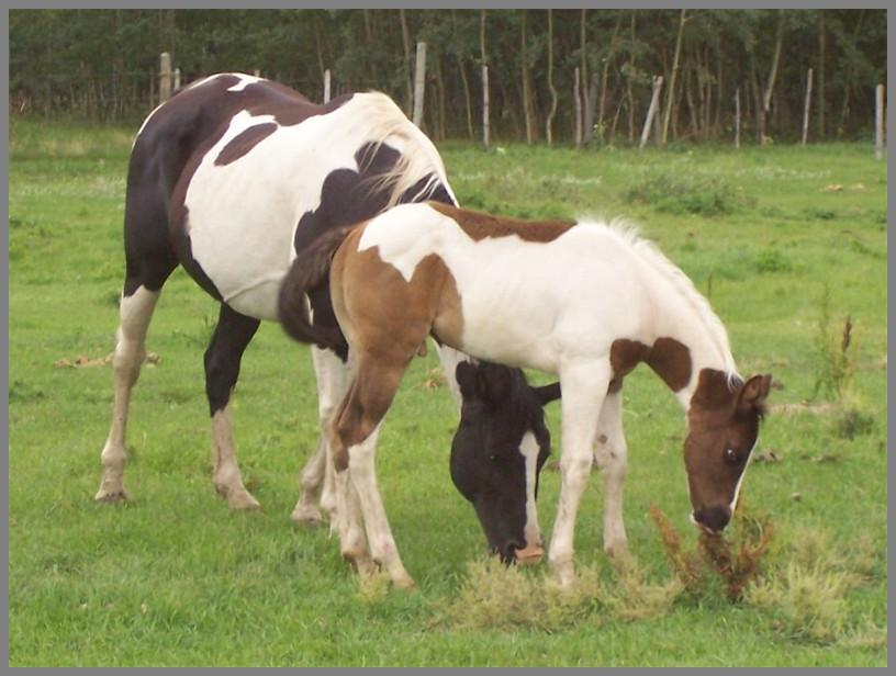 Brown tobiano colt out of Raven Silver Peach