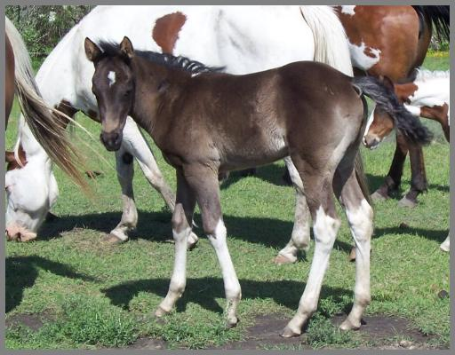 Royal Apache Foxfire -2012- Minimal Black Tobiano Filly out of Two Eyed QT
