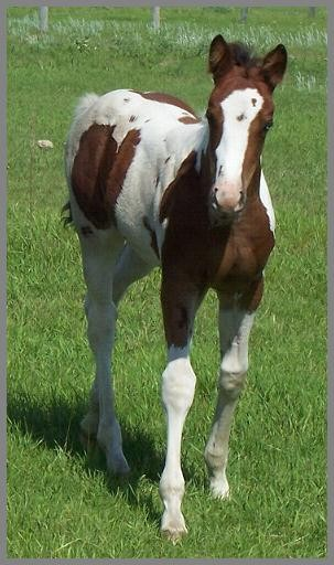 Friday Night Showdown -2012 -Bay Tobiano Filly out of Friday Night Encore