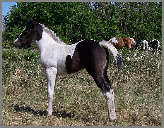 Poco Royal Pizzazz - Black Tobiano Filly out of Moon Chief Jewel