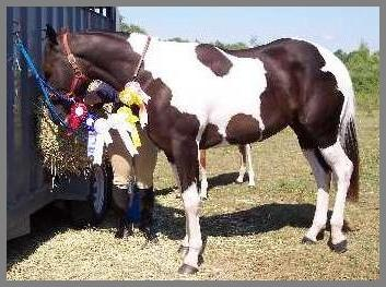 Royal Apache Cat - 2005 -VBR Farms in Ont. have been successfully showing 'Joker' in Hunter classes in the Pinto Assn. They chose those the Pinto shows as there is more competition in their area. Joker is 2 years old! Vickie is 'somewhere' on the other side of her growing boy. Visit VBR Farms from our links page!