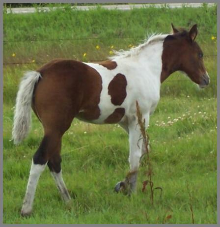 Poco Royal Picasso 2011 - Bay Tobiano filly out of Moon Chief Jewel
