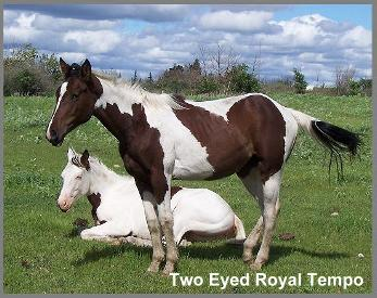 Two Eyed Royal Tempo - 2005 Bay Tobiano Filly out of Sirlette's Starlet