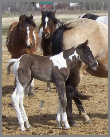 2014- Black Tobiano Filly out of Docs Lucky Twister