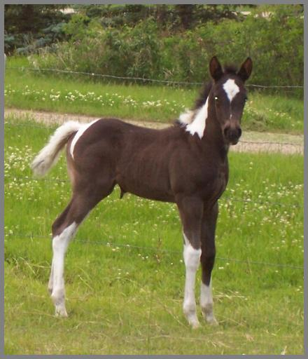 Royal Apache Eclipse -2012 - Black Tobiano Filly out of Jackies Bar On Fire