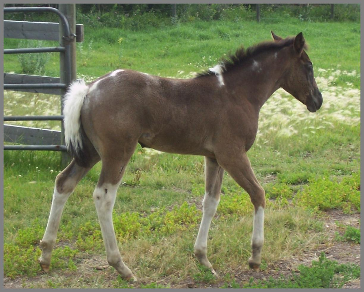 2017 - Blue roan tobiano filly out of Jackies Bar On Fire