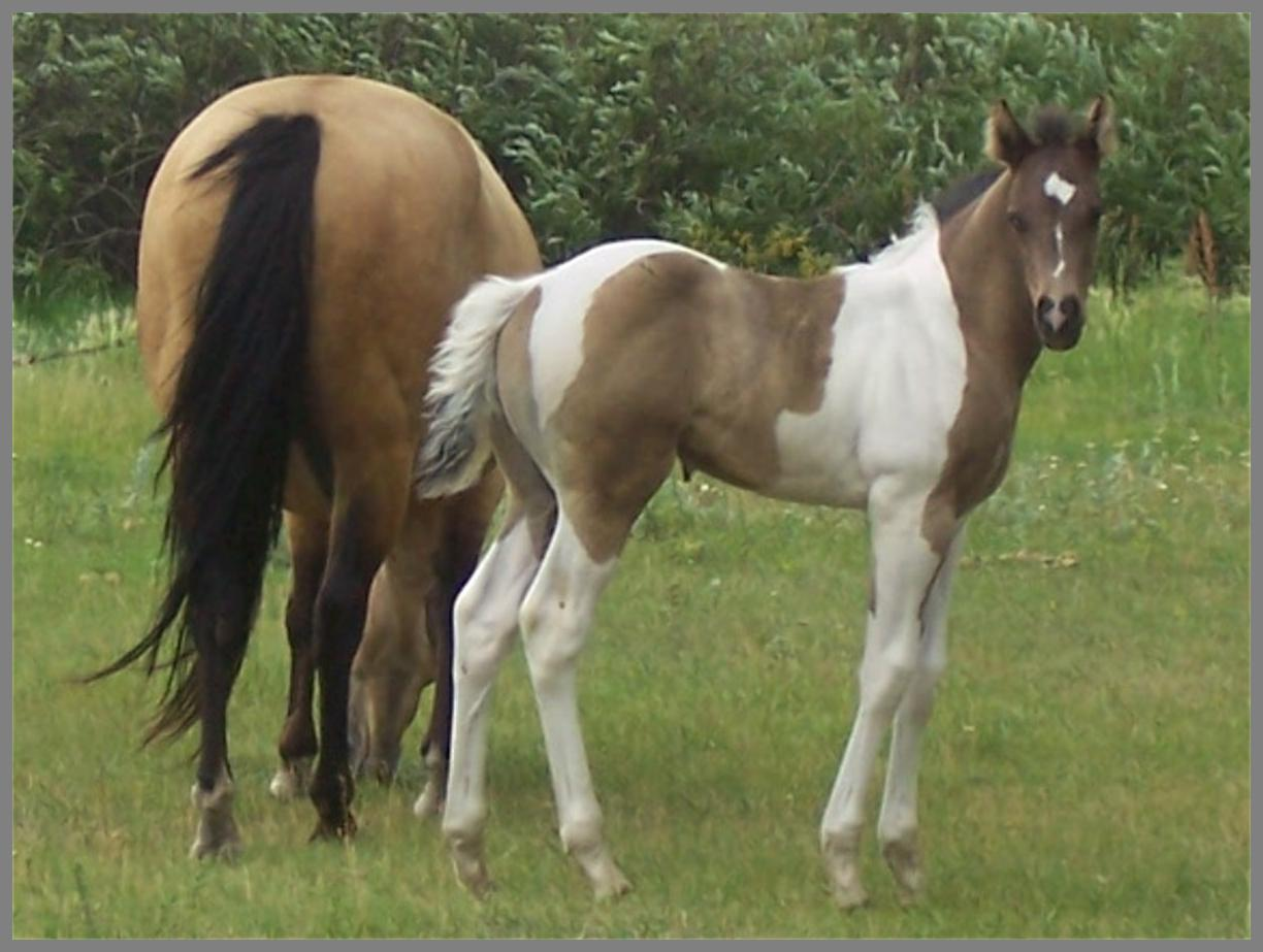 2017 Black tobiano colt out of Docs Lucky Twister
