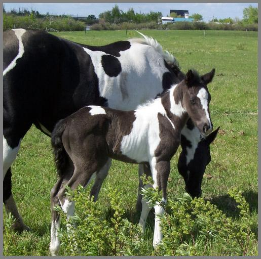 Max- 2012 - Black Tobiano Colt out of Western Silver Peach. This colt died May 29th.