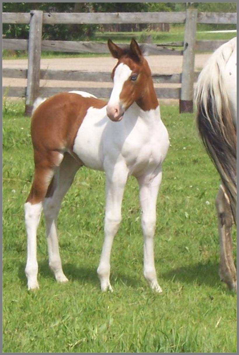 Bay Tobiano Filly out of Moon Chief Jewel 2016