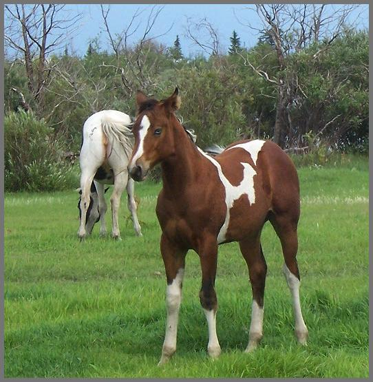 Poco Royal Jewels - 2010 Bay Tobiano Filly out of Moon Chief Jewels