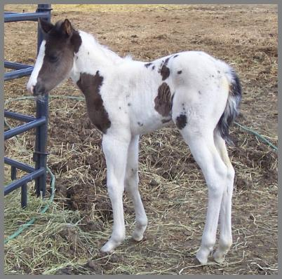 Royal Apache Opal - 2009 Black Tobiano Filly out of Raven Silver Peach