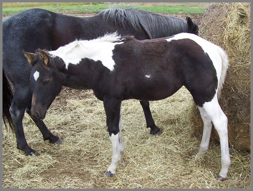2014 - Blue roan tobiano filly out of Jackies Bar On Fire
