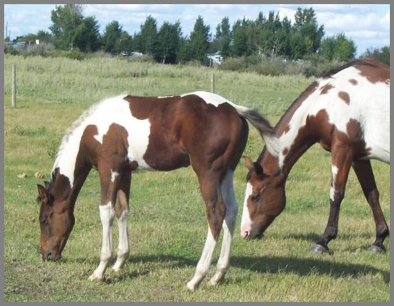 Royal Apache Stinger -2008 Bay Colt out of Eloquent Chick