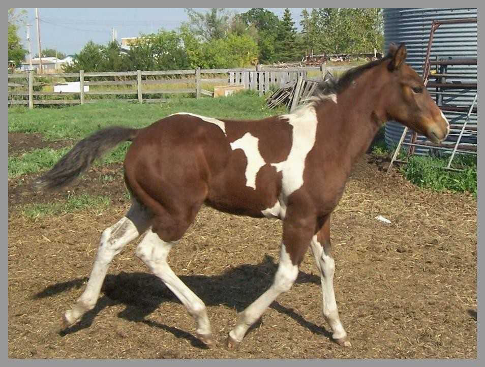 2014 Bay tobiano filly out of Royal Pocomotion