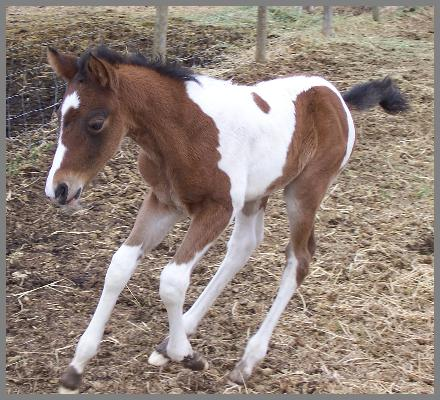 Whats The Commotion- 2008 Brown Tobiano colt out of Royal Pocomotion
