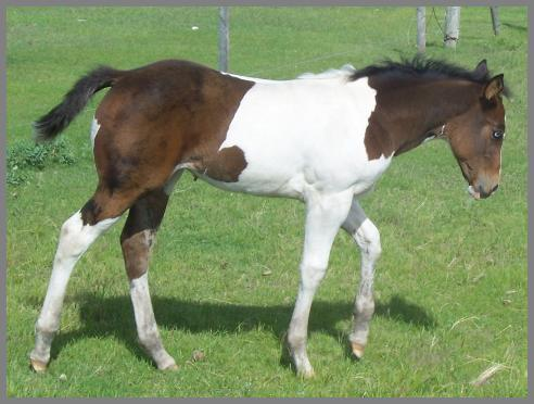 Poco Royal Dazzlin QT -2008 Brown Tobiano Filly out of Moon Chief Jewels