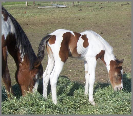 Royal Apache Sierra -2010 Bay Tobiano Filly out of Eloquent Chick