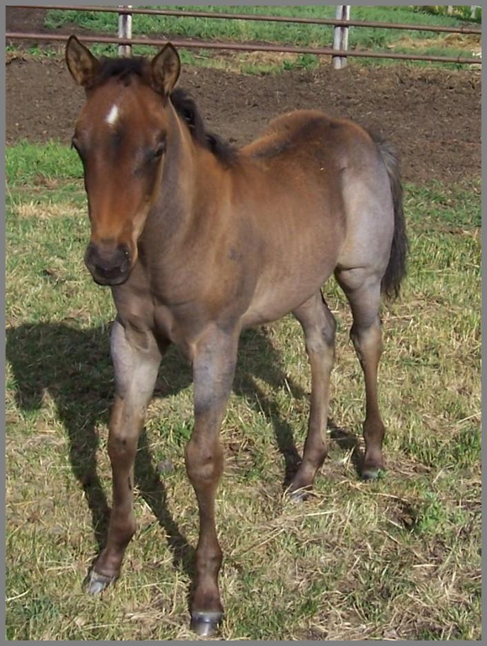 2014 Bay roan colt out of Two Eyed Apache Blue