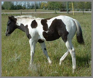 """Royal Pocomotion"" 2004- Black Tobiano filly out of Raven Silver Peach"