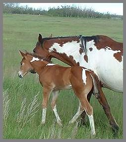 Poco Cry A Royal Tear - 2005  Bay Tobiano Colt out of Eloquent Chick