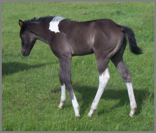 Royal Apache Tabu 2010-Smoky black filly out of Gold Gypsy Dancer
