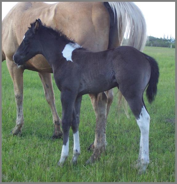 Tabu is a black tobiano filly - 11 days old.