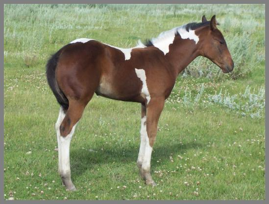 2013 Brown tobiano filly out of Eloquent Chic
