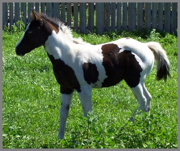 Poco Royal Tia Riffic - 2005 Black Tobiano Filly out of Moon Chief Jewels