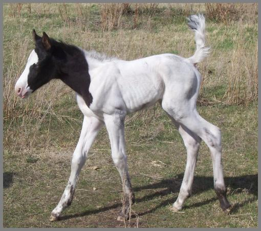 Royal Top Hat N Tails -2009 Black Tovero Colt out of Moon Chief Jewels
