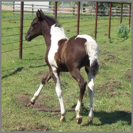 Ying Yang QT - 2012 Black Tobiano filly out of Moon Chief Jewel