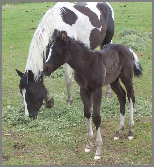 Poco Royal Zoom N - 2010 Black Tobiano Colt out of Royal Pocomotion